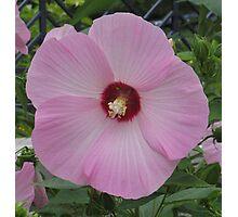 Lt. Pink Hibiscus Photographic Print