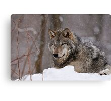 Timberwolf in Winter Canvas Print