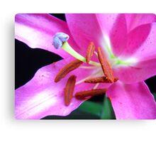 Pink Lily macro. Canvas Print