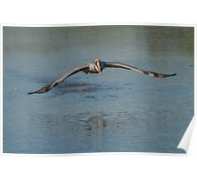 Pelican Coming In Poster