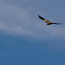 Whistling Kite by Bill  Russo