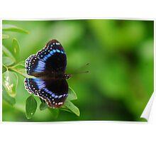 Hypolimnas alimena (Blue-Banded Eggfly) Poster