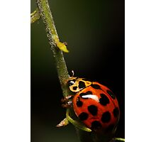 Lady beetle with a climb ahead Photographic Print