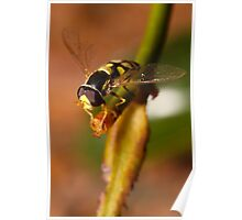 Hoverfly resting Poster