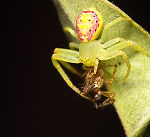 Flower Spider with dinner by Andrew Durick