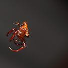 Triangular spider floating by Andrew Durick