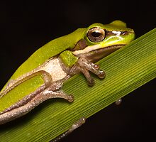 Dwarf tree frog by Andrew Durick
