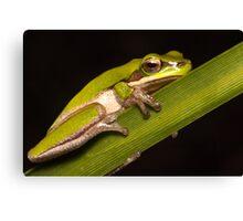 Dwarf tree frog Canvas Print