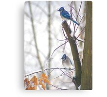 Blue Jays in Winter Canvas Print