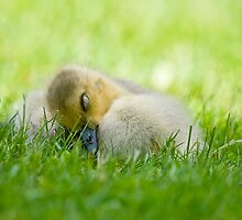 Sleeping Canada Goose Gosling - Ottawa, Ontario by Michael Cummings