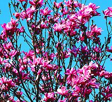 Pink Magnolia Tree in Full Bloom by Chuck Gardner