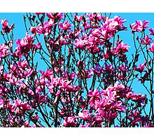 Pink Magnolia Tree in Full Bloom Photographic Print