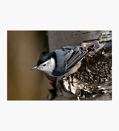 White Breasted Nuthatch - Ottawa, Ontario Photographic Print