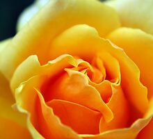 Yellow Rose - NSW by CasPhotography