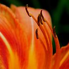 Daylily Delight - 1     ^ by flowers2love