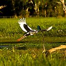 Jabiru, Kakadu National Park, Northern Territory.  by Bill  Russo