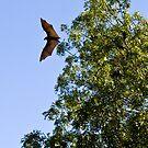 Bat, Kakadu National Park, Northern Territory.  by Bill  Russo
