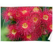 Eucalyptus Blossom Poster