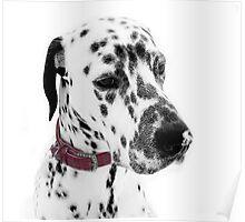 Dalmatian Julius snowkissed  Poster