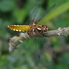 Broad-bodied Chaser dragonfly by Hugh J Griffiths