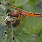female Scarce Chaser dragonfly by Hugh J Griffiths