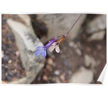 fynbos flower 3 Poster