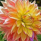 Canada Dahlia by Monnie Ryan