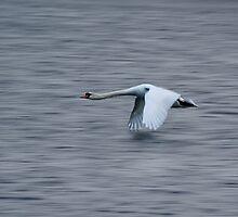 Swan inflight by FraserJ