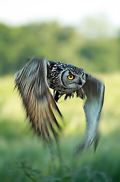 Eagle owl inflight by FraserJ