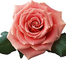 Rose,Flowers, Leaves by Organizer