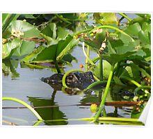 Alligator-Florida Everglades Poster