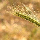 Barley grass  by yampy