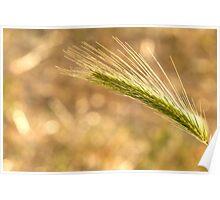 Barley grass  Poster
