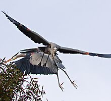 010610 Great Blue Herons by Marvin Collins