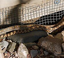 Rattlesnake by edesigned