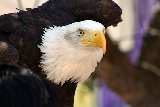 Bald Eagle... by RichImage