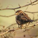 House Sparrow Chick by Franco De Luca Calce