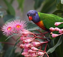 Rainbow Lorikeet-8017 by Barbara Harris