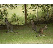 Feeding Kangaroos at Yarongabilly Caves Photographic Print