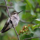Hummingbird Vacaville by pinkT