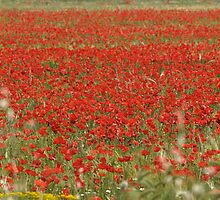 Field with poppies  by portokalis