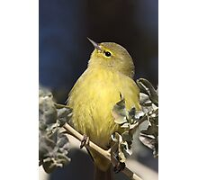 Chubby Warbler (Orange-crowned) Photographic Print