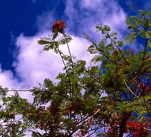 Royal Poinciana in Bloom by njordphoto