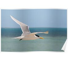 Crested Tern in flight Poster
