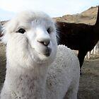 White Llama by carrolk