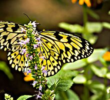 Easter Tiger Swallowtail  by mom2ca