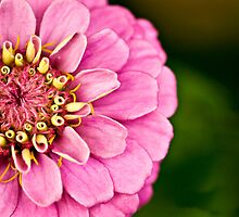 Pink Zinnia by mom2ca