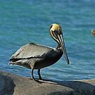 Brown Pelican by Robert Abraham