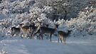 Fallow deer in the snow 4 by DutchLumix