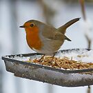 He has had his Fill of Mealworms !!! by AnnDixon